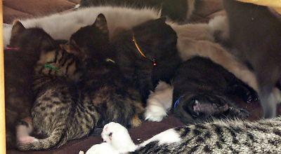 シャルロッテちゃんのお腹に張り付く子猫さんたち